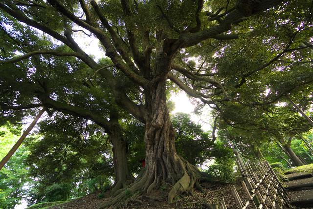 /シイの木