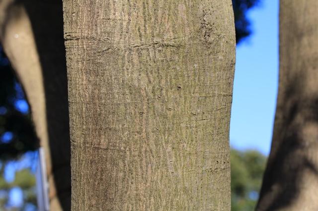 /マテバシイの木肌