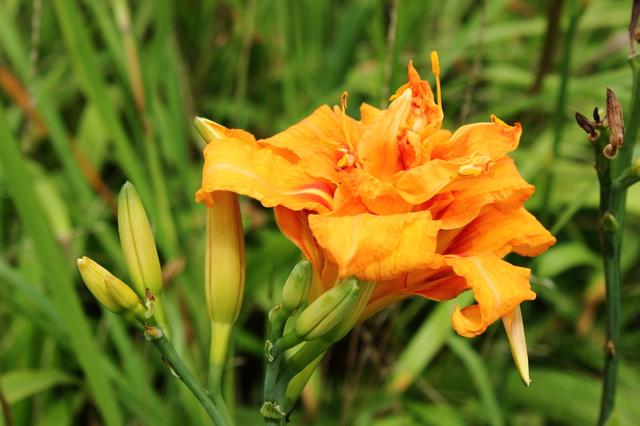 /ヤブカンゾウの花