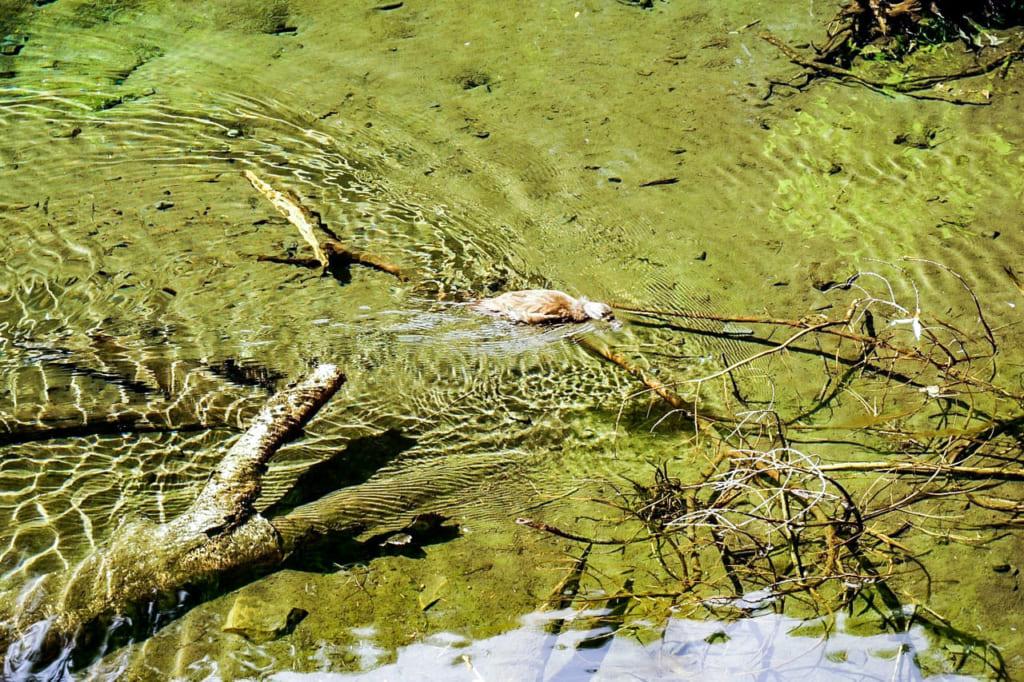 /小川に泳いでいるカモ-1024x682