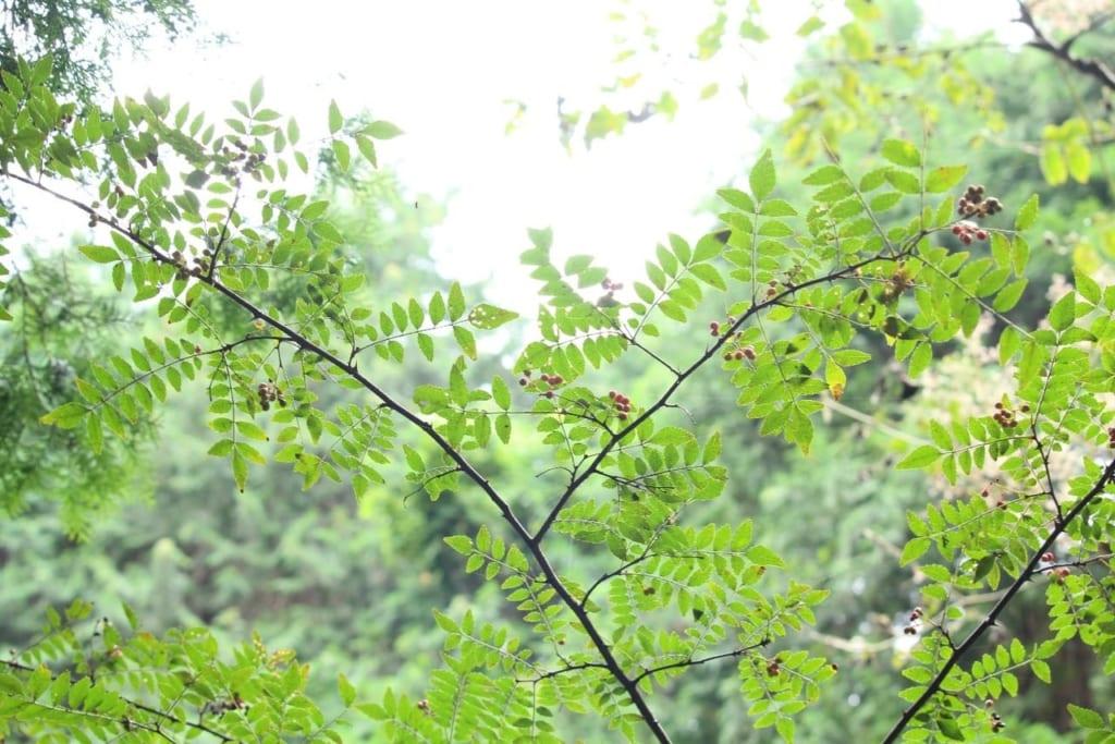 /山椒の葉と完熟した実-1024x683