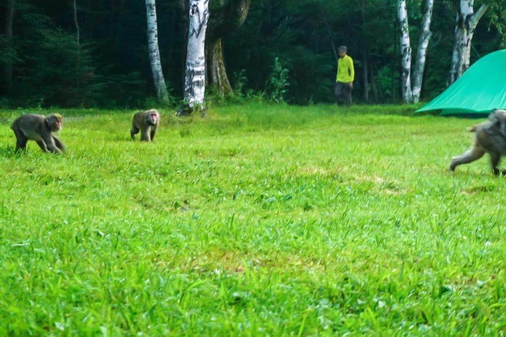 /徳沢キャンプ場を闊歩するサル-1024x682