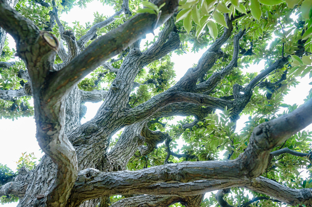 /椎の木の巨木