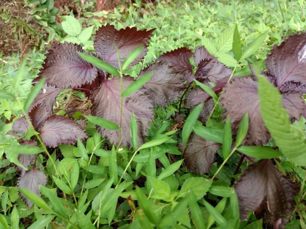 /渓流沿いに生える野生の赤紫蘇-1024x768