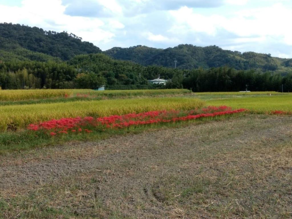 /田んぼの周りに大量に植えられたヒガンバナ-1024x768