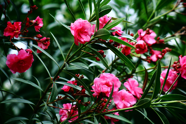 /紅色の花をつけたキョウチクトウ