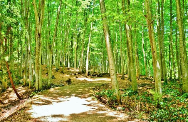 /1095-beech-forest