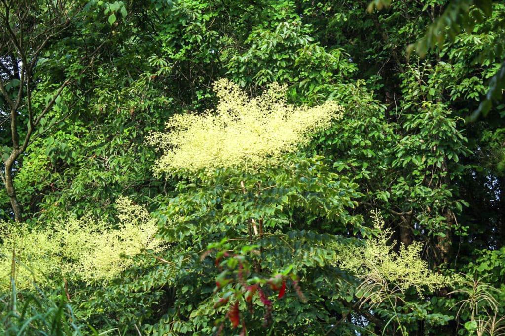 初秋に撮ったタラノキの花-1024x682