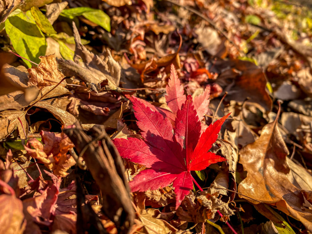 秦野戸川公園の紅葉3-1024x768