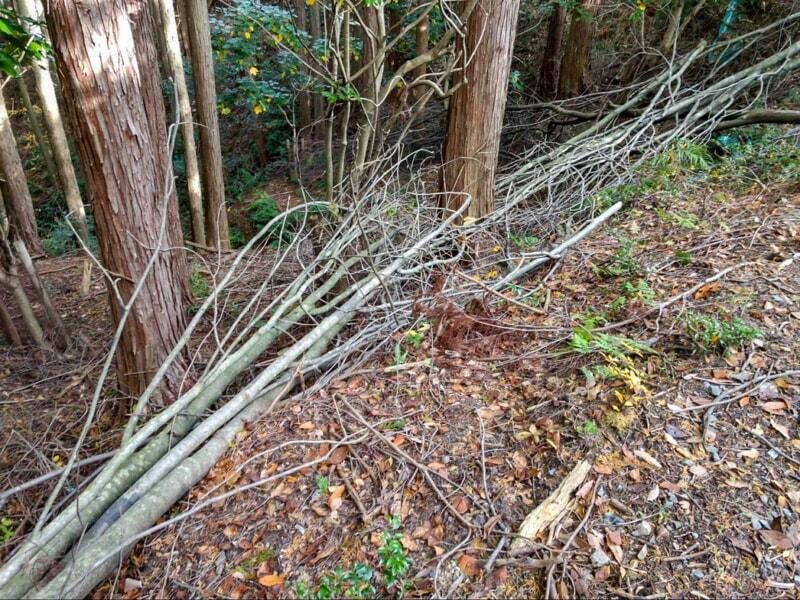近所の山にあるコシアブラの倒木