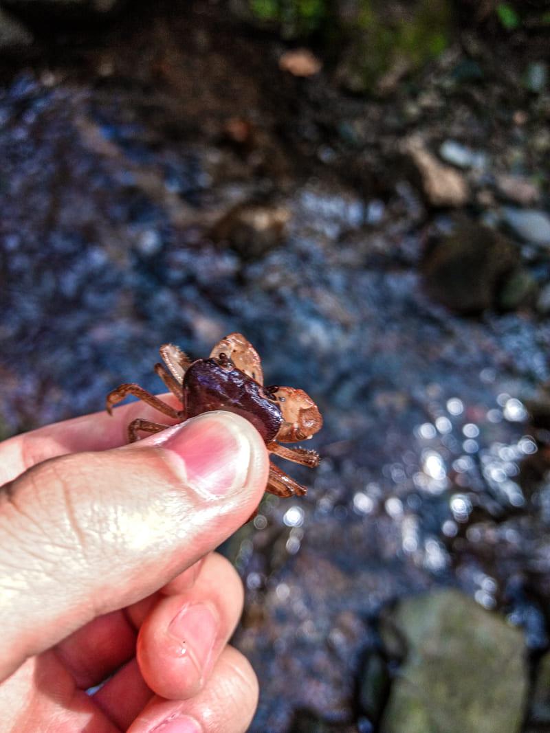 渓流で捕まえた沢蟹