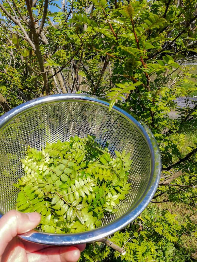 野草・山菜の下処理とおすすめレシピ-11