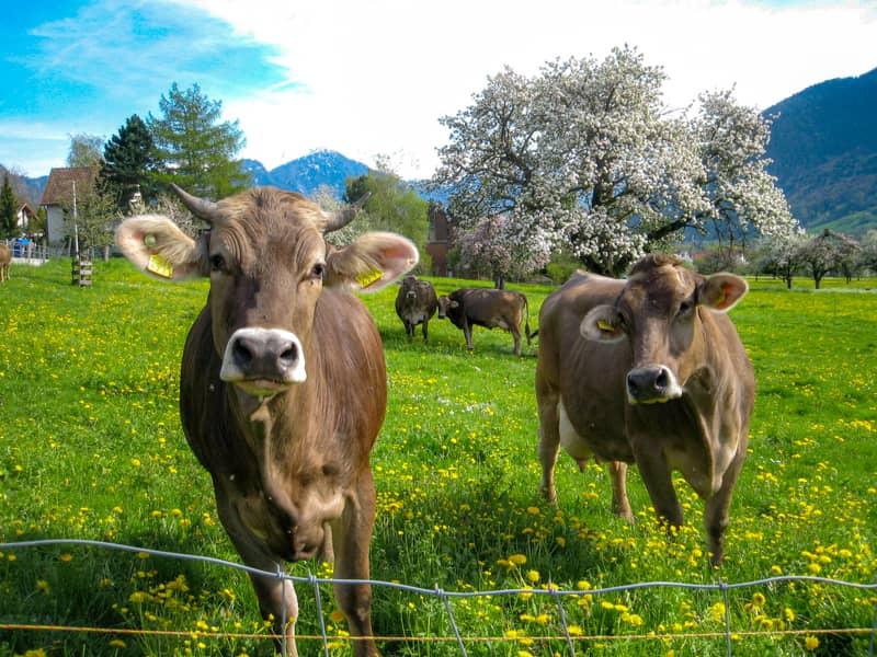 スイス-牛