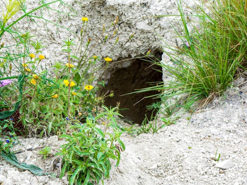 アナウサギの巣穴