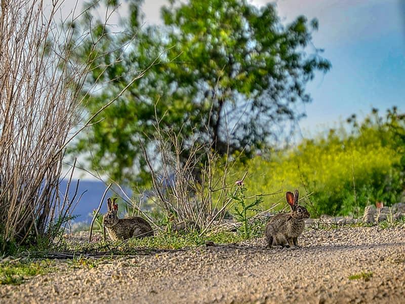 スペインのアナウサギ
