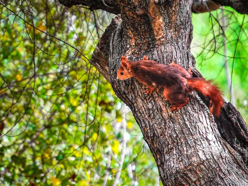 木の上のアカリス