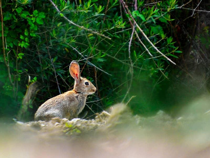 森で会ったアナウサギ