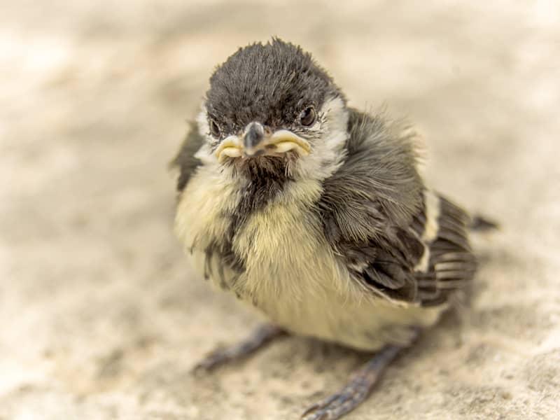 鳥の赤ちゃん