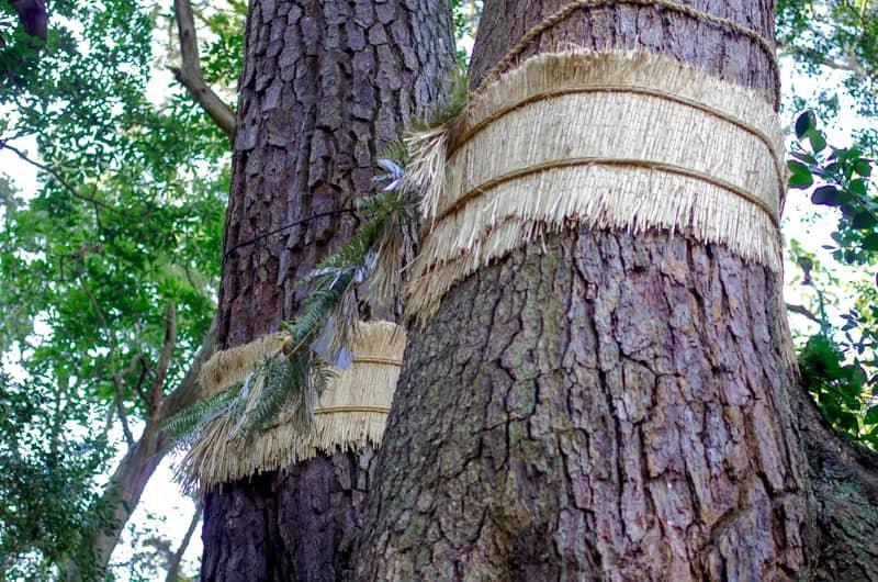 夫婦松の御神木