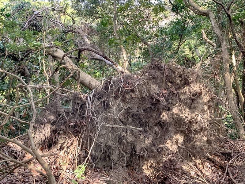 五合目倒壊した大木
