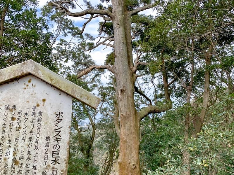 東屋タン杉の巨木-1