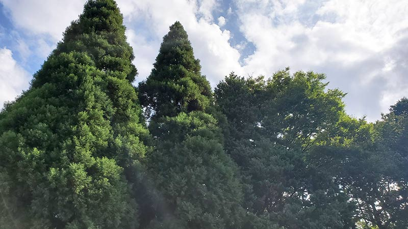 高い木に囲まれる昭和の森フォレストビレッジ