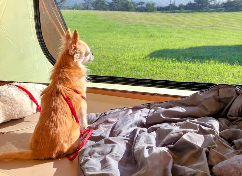 テントの窓から外を眺める犬の後ろ姿