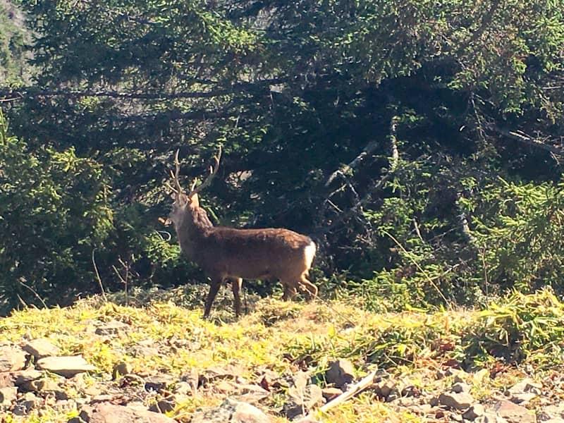 雲取山の鹿