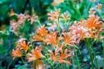 7月中旬~下旬は花の名峰と呼ばれる井原山へ「オオキツネノカミソリ」を見に行こう!