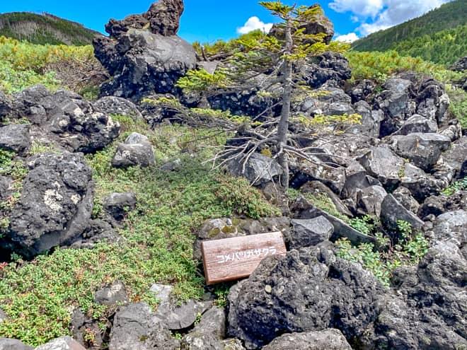 高山植物が群生するスポットでもあるので